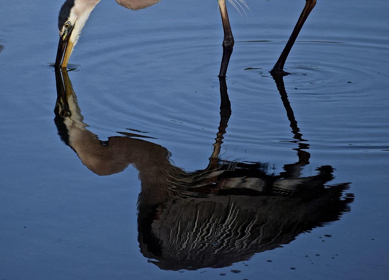 Egret Florida Life Florida Birds Wall Springs Park Palm Harbor, FL Teflection