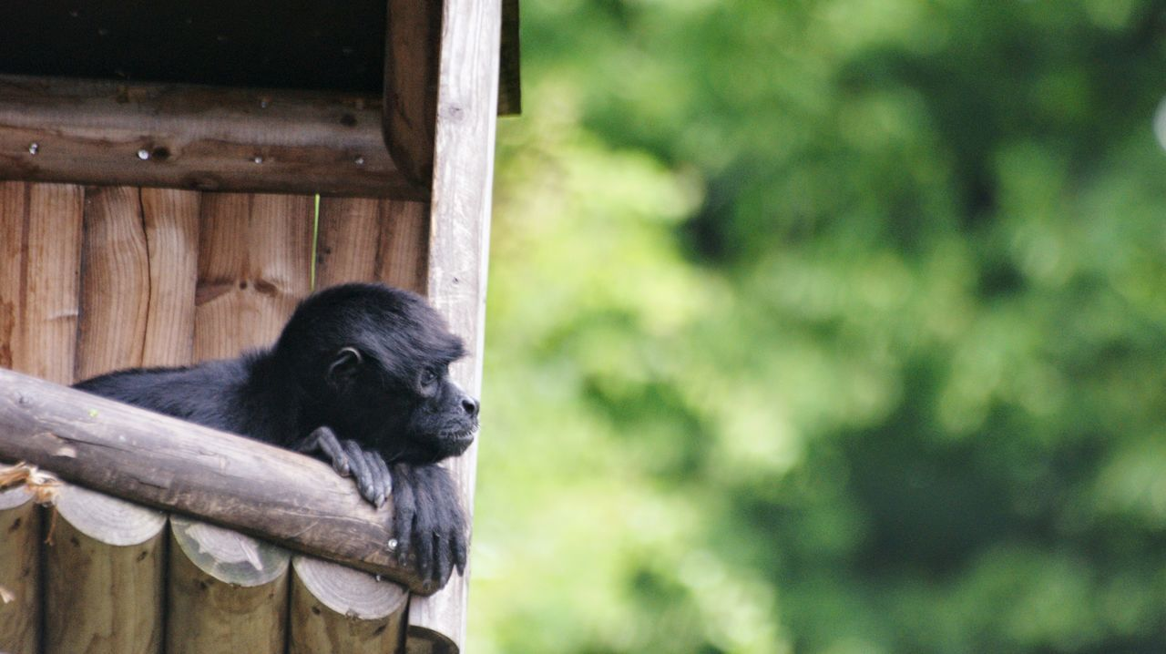 one animal, animal themes, mammal, wood - material, no people, animals in the wild, outdoors, day, animal wildlife, black color, nature, domestic animals, chimpanzee, monkey, close-up