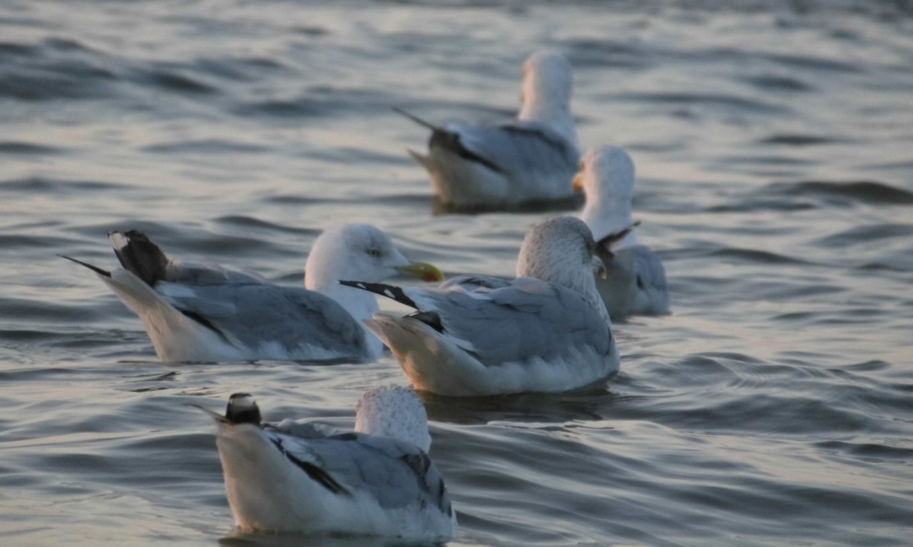 Animal Themes Animal Wing Animals In The Wild Beak Bird Flapping Flock Of Birds Flying Focus On Foreground Lake Medium Group Of Animals Motion Nature Rippled Sea Seagull Side View Swimming Tranquility Vertebrate Water Water Bird Waterfront Wildlife Zoology