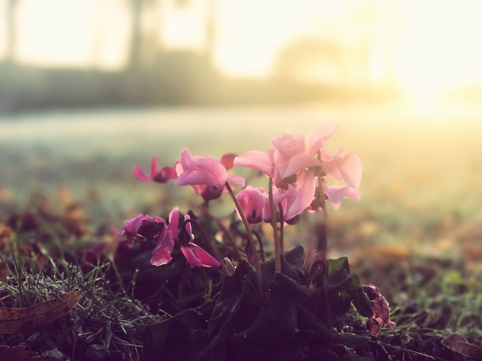 Flowers Flower Nature Fragility Growth Beauty In Nature Freshness Petal Close-up No People Flower Head Field Outdoors Leaf Plant Day Pink Color Blooming Crocus