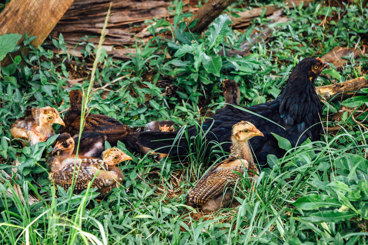 Hen with chicks Animal Photography Animal Themes Animal Wildlife Animals In The Wild Bird Black Chicken Chick Chicken Chicks Close-up Cuba Collection Domestic Animals Family Grass Green Color Growth Hen Mother Nature Outdoors Rural Rural Scene