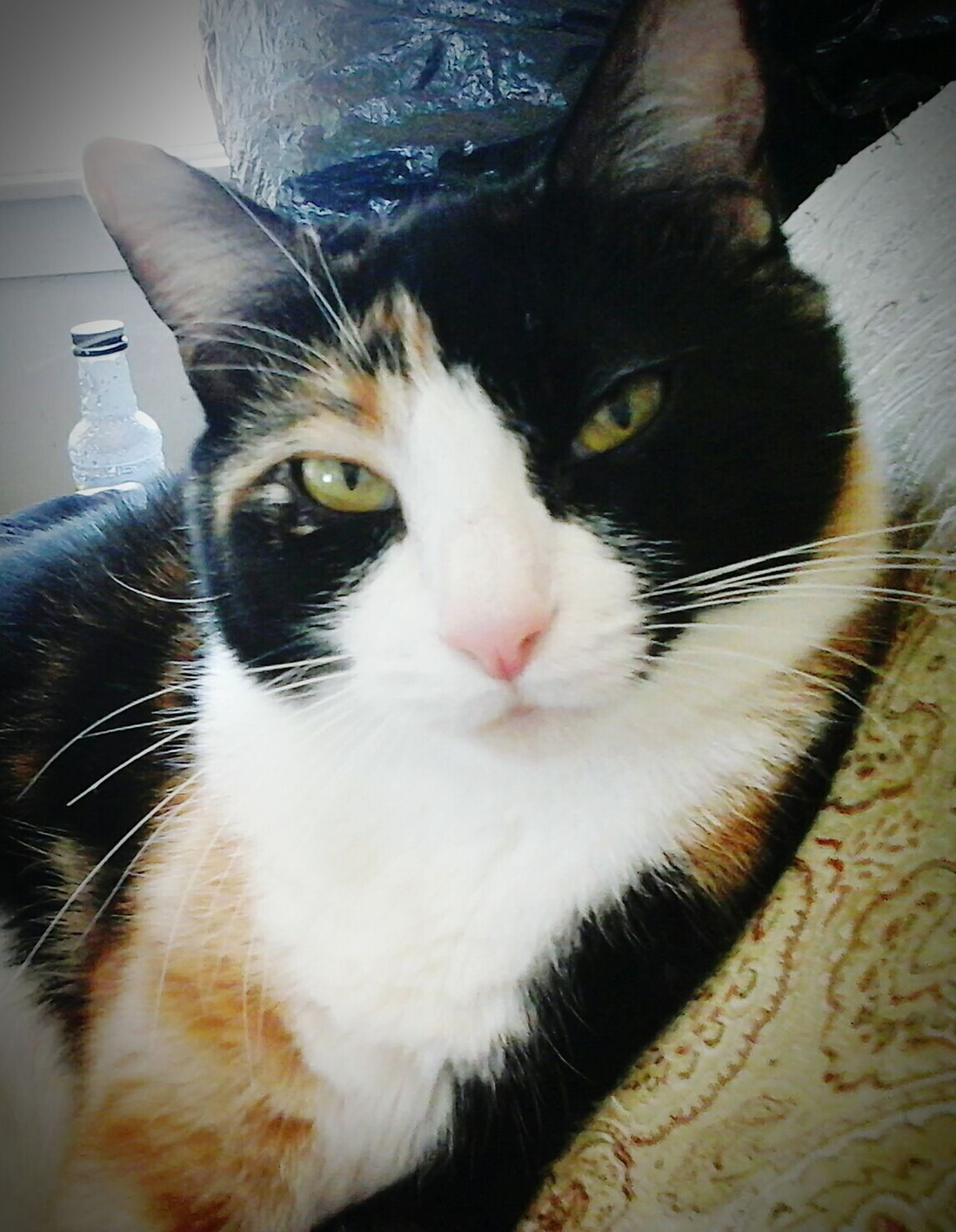 Beautiful Mowmow!! CALICO💚💙❤💛 calicocatsrule Catsoftheworld Bayareaphotography Check This Out Loveallanimals Paws And Purrs ❤️🔥❤️ Hello World Animals Catsofeyeem Pawsome Catlovers Cat Eyes Animal Photography Catstarcat