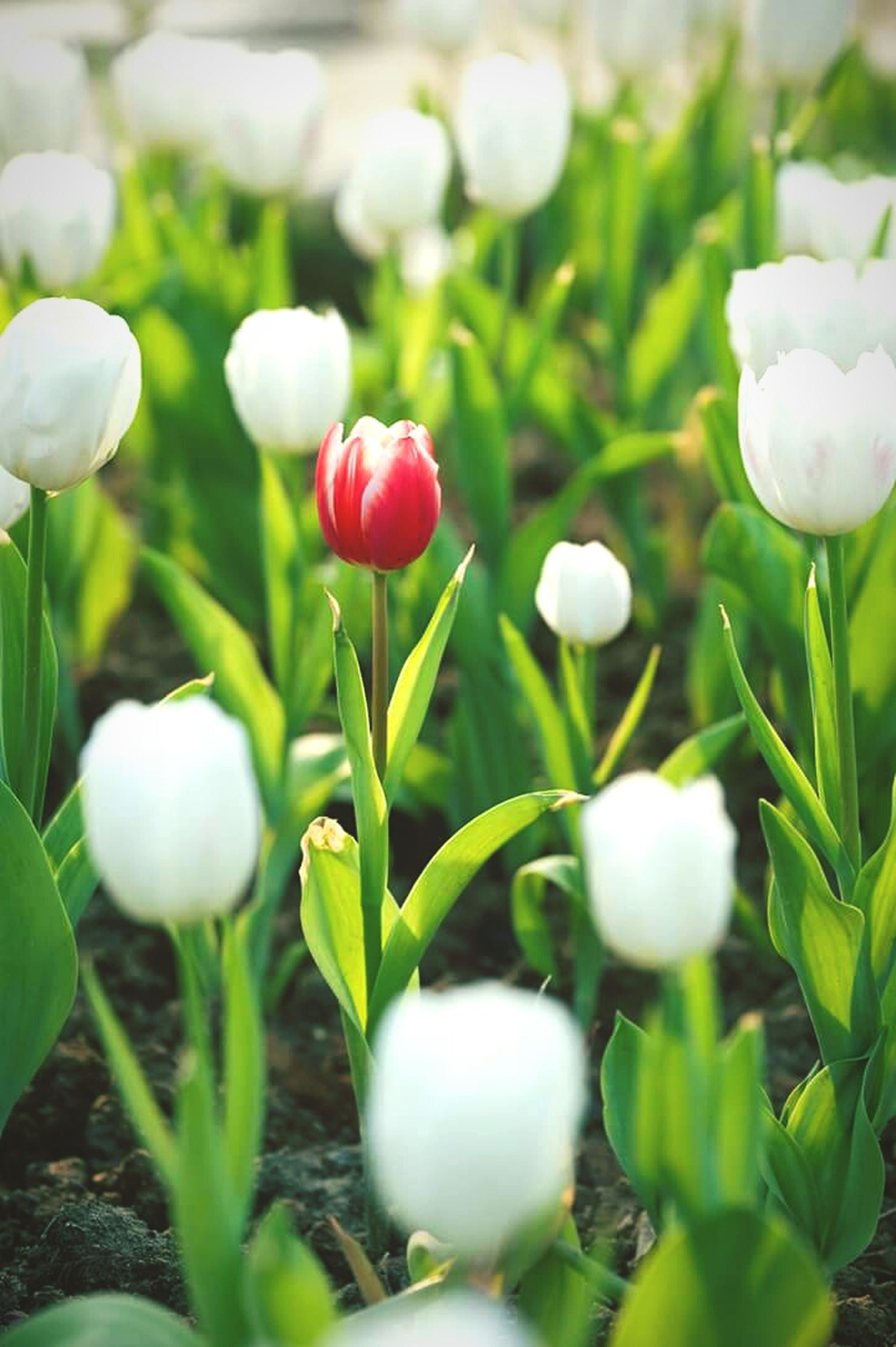 flower, freshness, petal, growth, fragility, flower head, beauty in nature, white color, plant, nature, bud, blooming, close-up, stem, focus on foreground, in bloom, field, tulip, leaf, green color