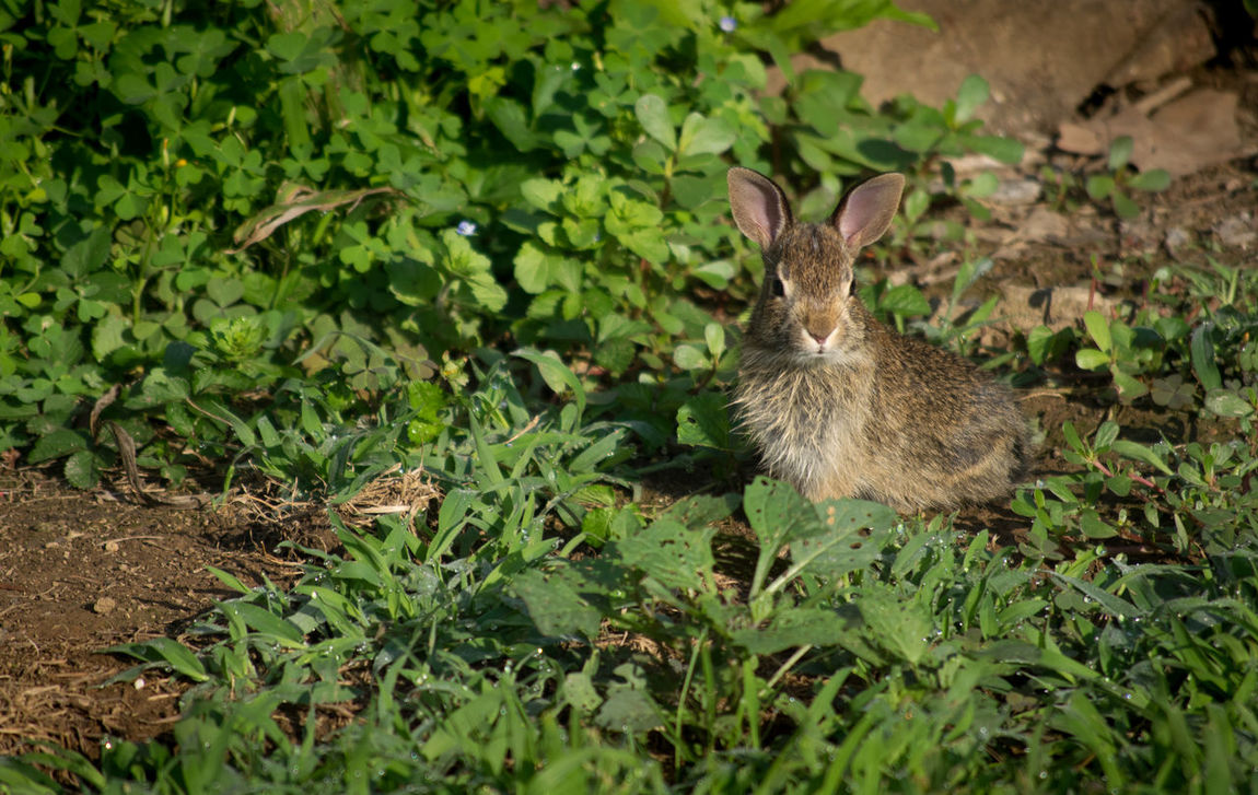 Baby rabbit in the morning sun looking for breakfast. Adorable Animal Themes Baby Baby Bunny, Baby Rabbit Bunny  Cute Cutest Fluffy FLUFFY BUNNY Garden Green Color Morning Light Nature No People One Animal Outdoors Rabbit Snuggle Sweet Wildlife First Eyeem Photo