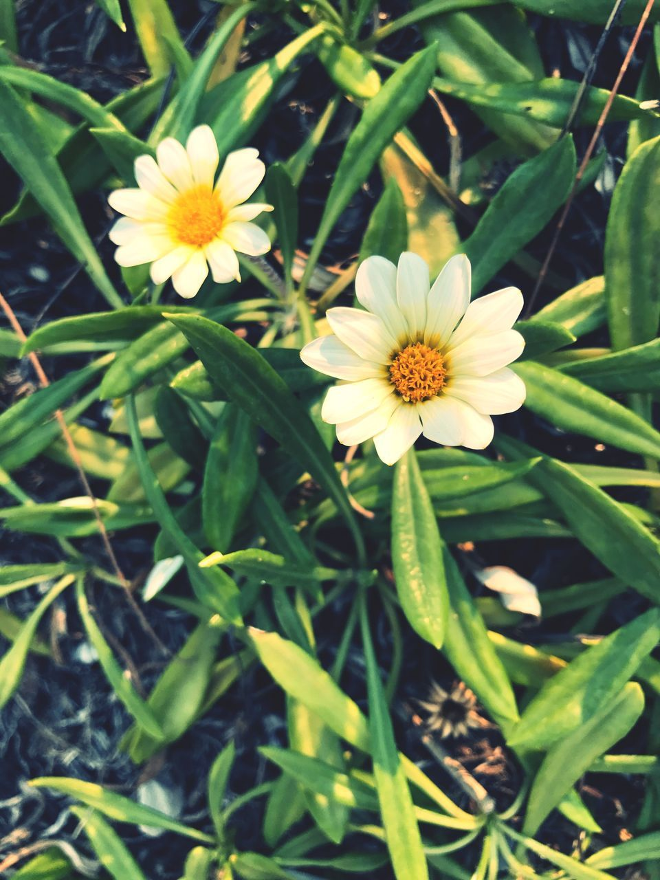 flower, fragility, petal, nature, beauty in nature, freshness, growth, flower head, blooming, pollen, yellow, outdoors, plant, field, green color, day, no people, leaf, close-up