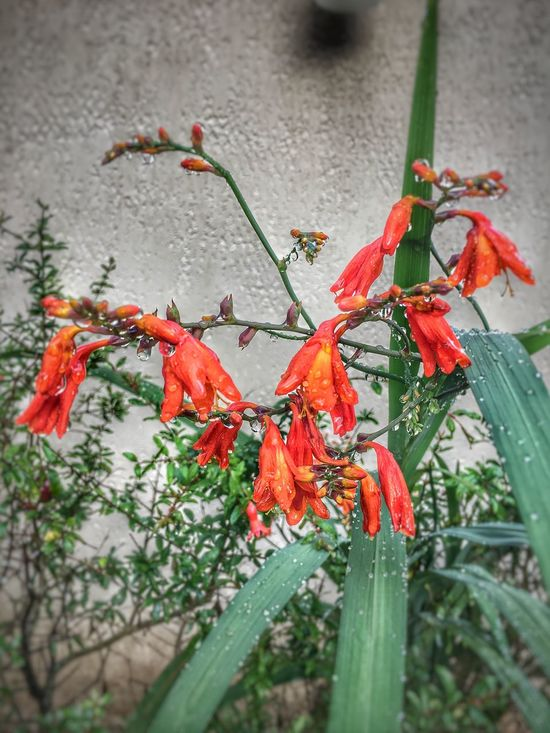 After rain... Red Close-up Orange Color Flower Plant No People Freshness Drops Of Water rain