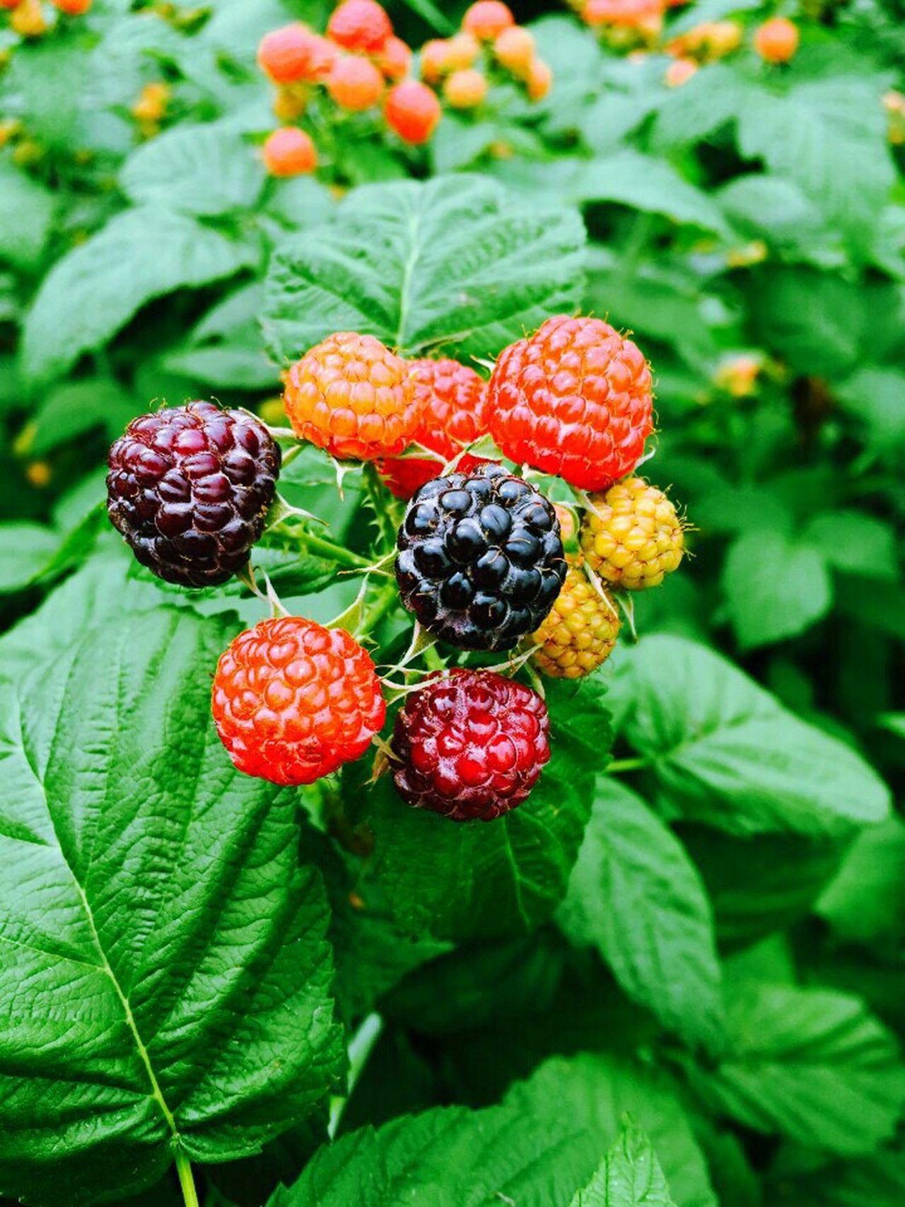 Black Raspberry Grandparent's Farm Fresh Produce Colorful Hamyang South Korea GTGG