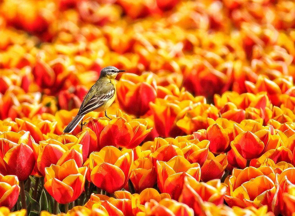 Beautiful stock photos of tulip, Animal Themes, Animal Wildlife, Animals In The Wild, Beak