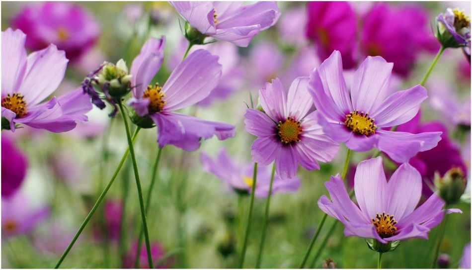 Cosmos flowers,The Bloom by Tvpool Kaoyai, Thailand. Flower Nature Cosmos Cosmos Flower Kaoyai Tahiland Close-up Landscape Sony SonyA500 Nofilter