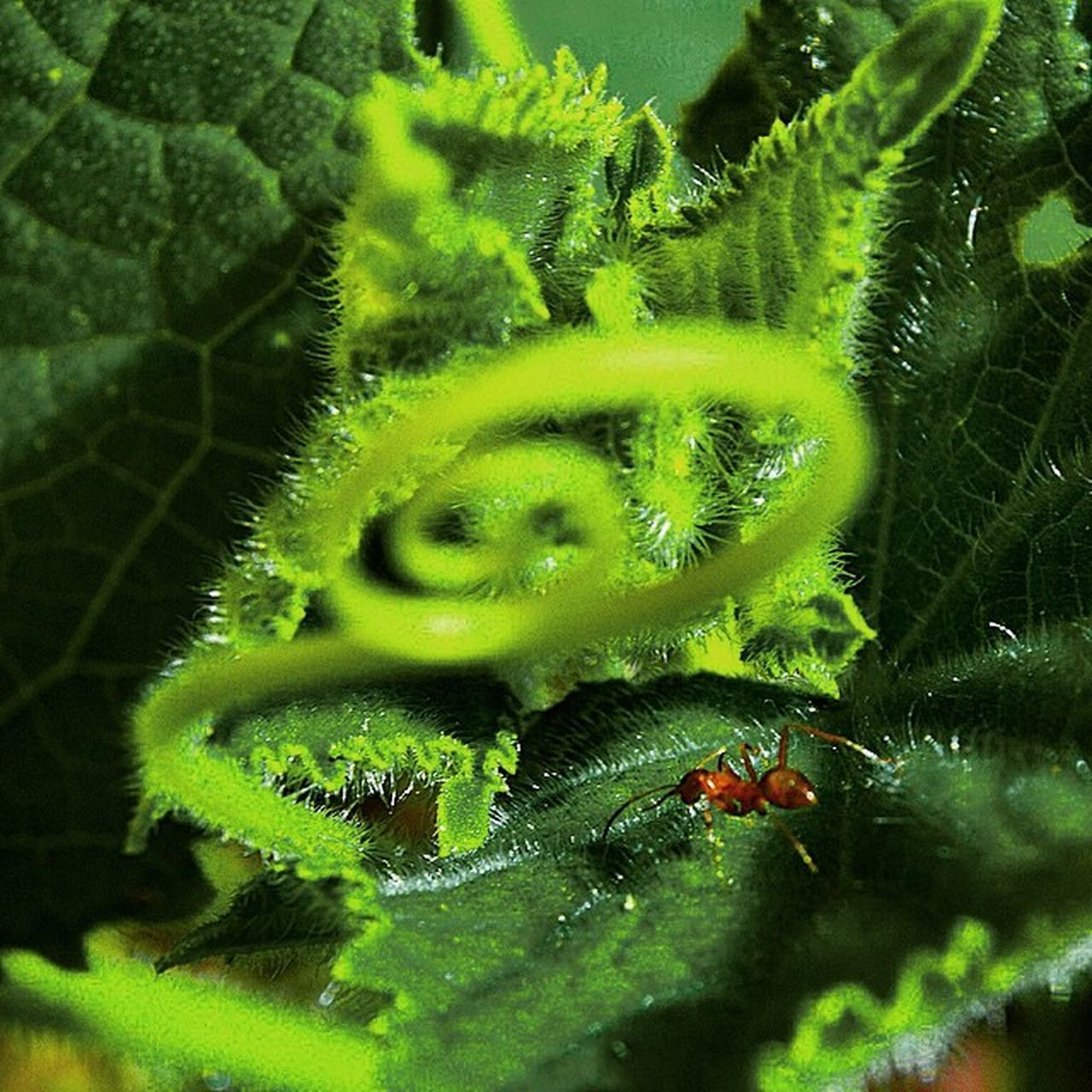 Closeup Macro Nikon DSLR D3200 Outdoors Outside Pest Bugs Insect Green Fuzzy Scenery Ant Fireant Backyard Nature Wildlife Isthishowwegetantsotherbarry Weakarcherreference