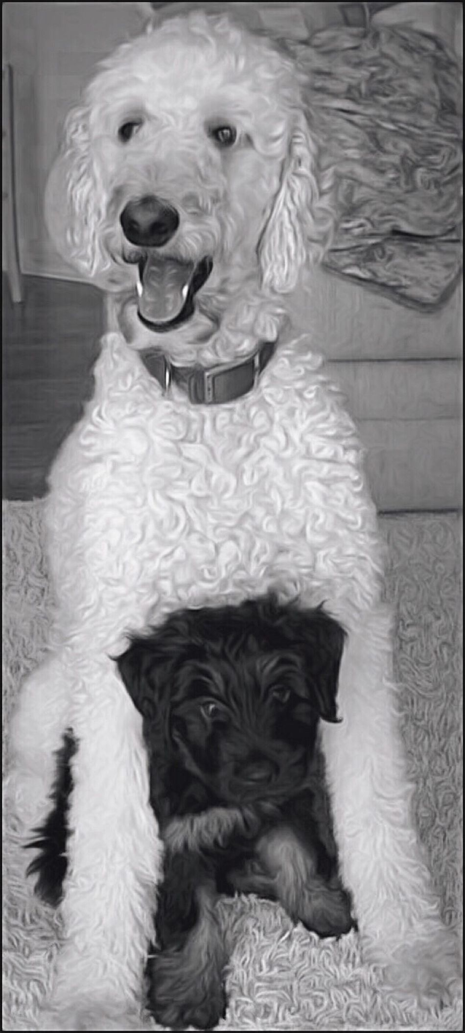 Big Sully & little Cooper Dog Dogs Blackandwhite Brothers Pets Black And White Portrait Puppies Love Miss Canine Black & White