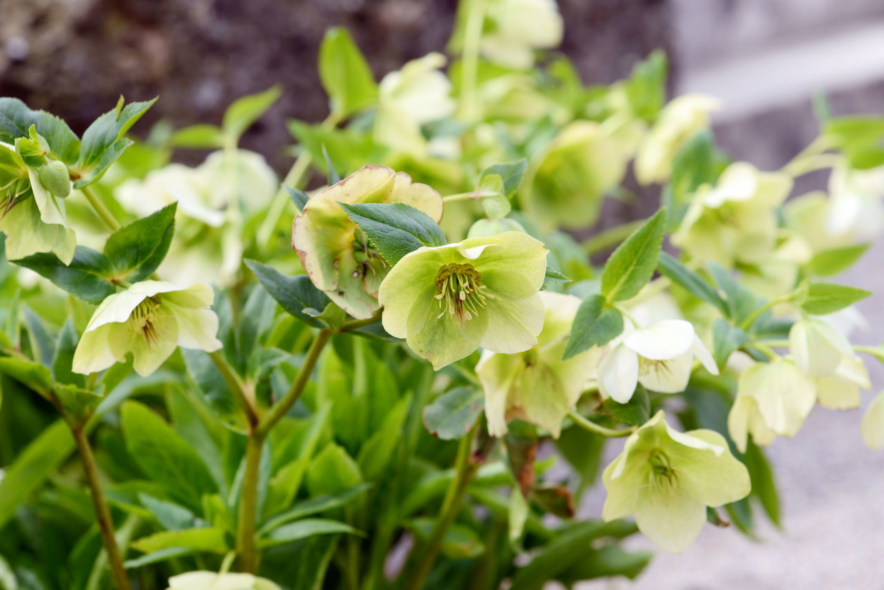 green yellow hellebore flower in blossom. Blooming Blossom Blossoms  Day Flower Flower Head Growth Hellebore Hellebores Helleborus Helleborus Niger Outdoors Plant Poisonous