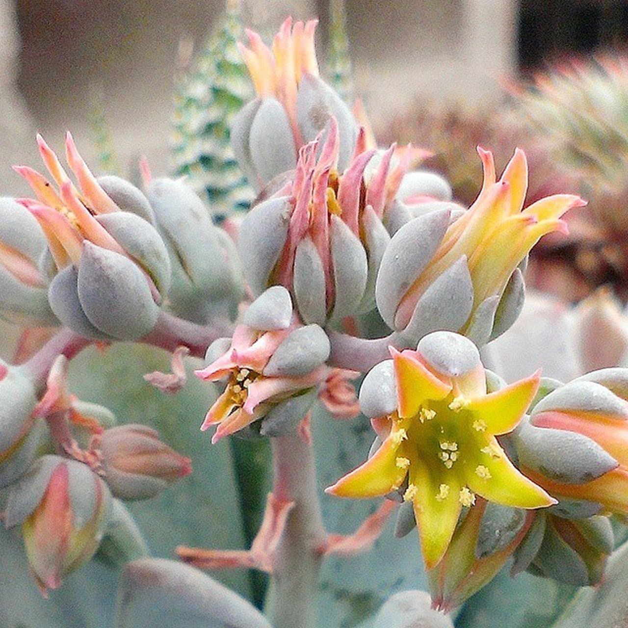 Pachyveria 'Powder Puff' Succulent Flower Succulents_only Succulove Plant_addiction Mygarden Plantsforsale WorldWidePlants