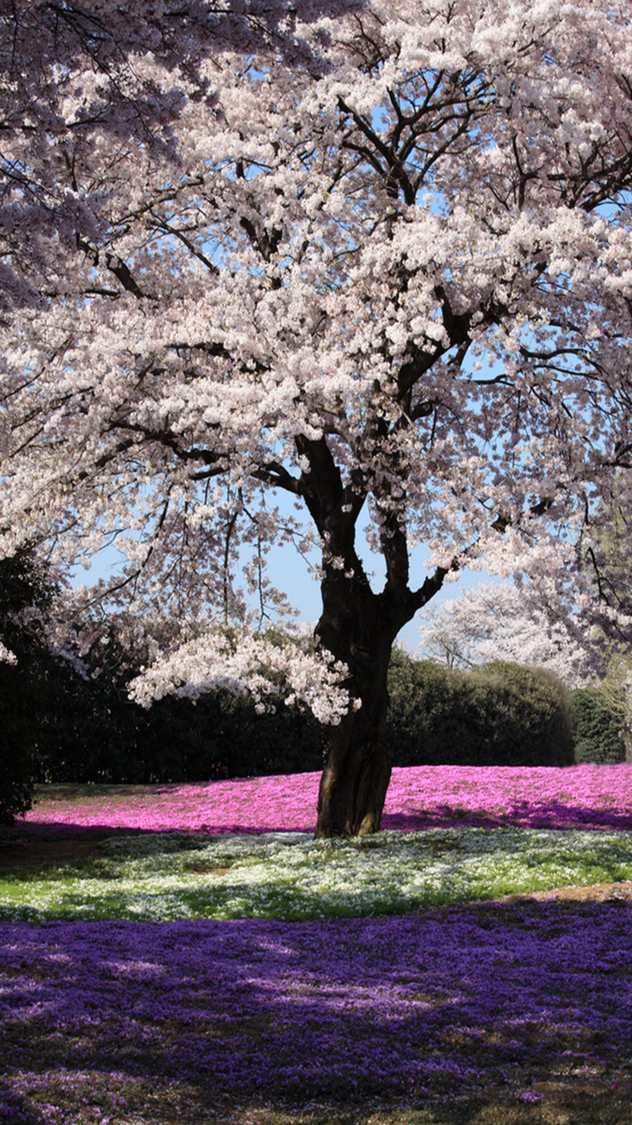 Tree Branch Beauty In Nature Growth Flower Grass Nature Freshness Tree Trunk Tranquility Tranquil Scene Scenics Blossom Pink Color Springtime Park - Man Made Space Field Day Cherry Tree Fragility EyeEmBestPics First Eyeem Photo Izmir/ Bornova EyeEm Nature Lover Multi Colored