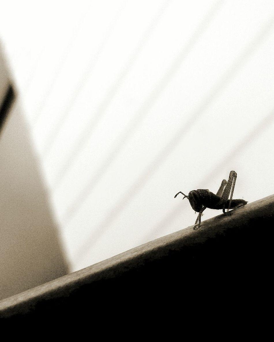 🐛 ınsects 🐌 Böcek çekirge Little Baby Grasshopper Locuts Black&white EyeEmNewHere