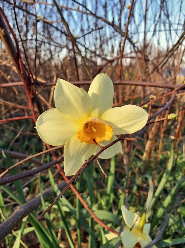Sole Daffodil Flowers Nature AMPt_community NEM Mood Wilderness