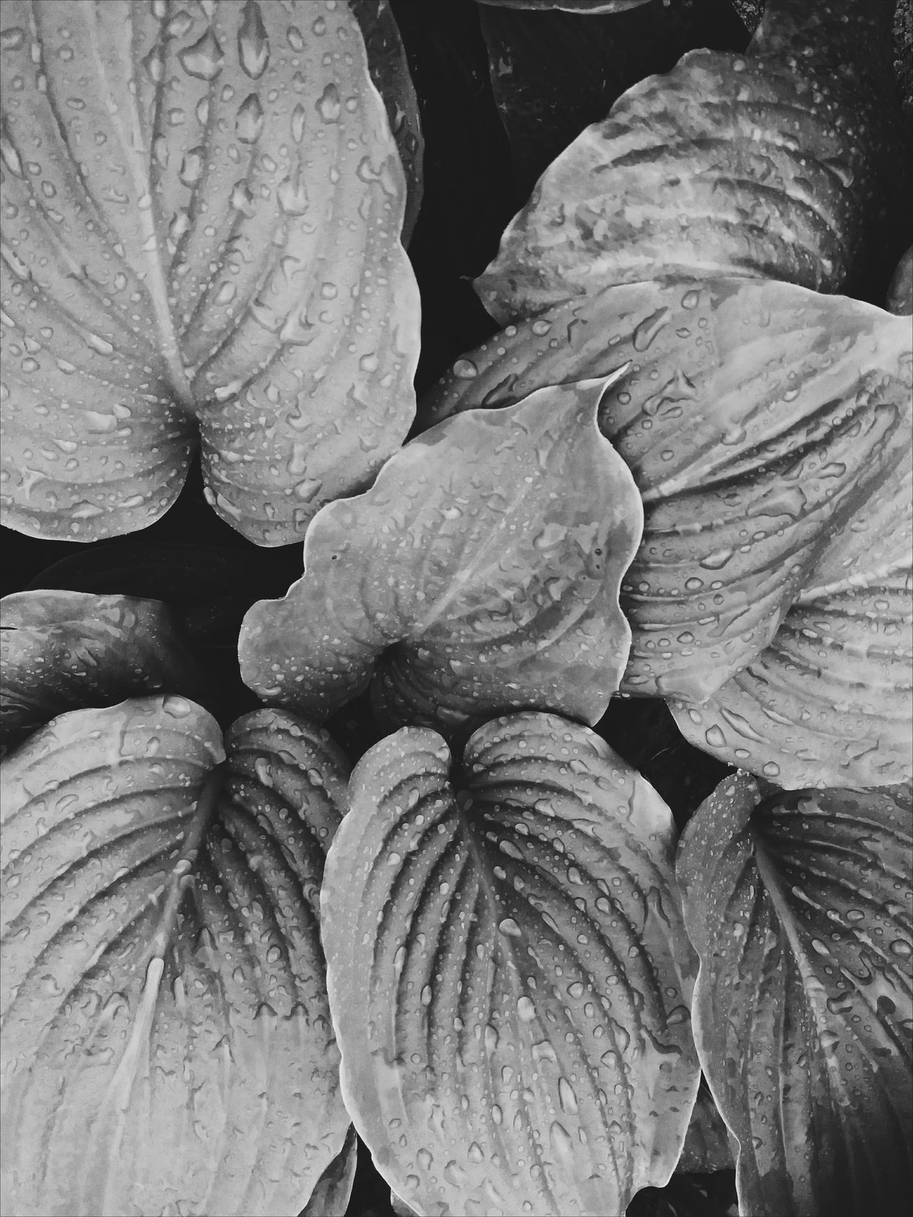 Nature No People Full Frame Growth Close-up Day Outdoors Beauty In Nature Flower Head Freshness Leaves Blackandwhite Raindrops BYOPaper!