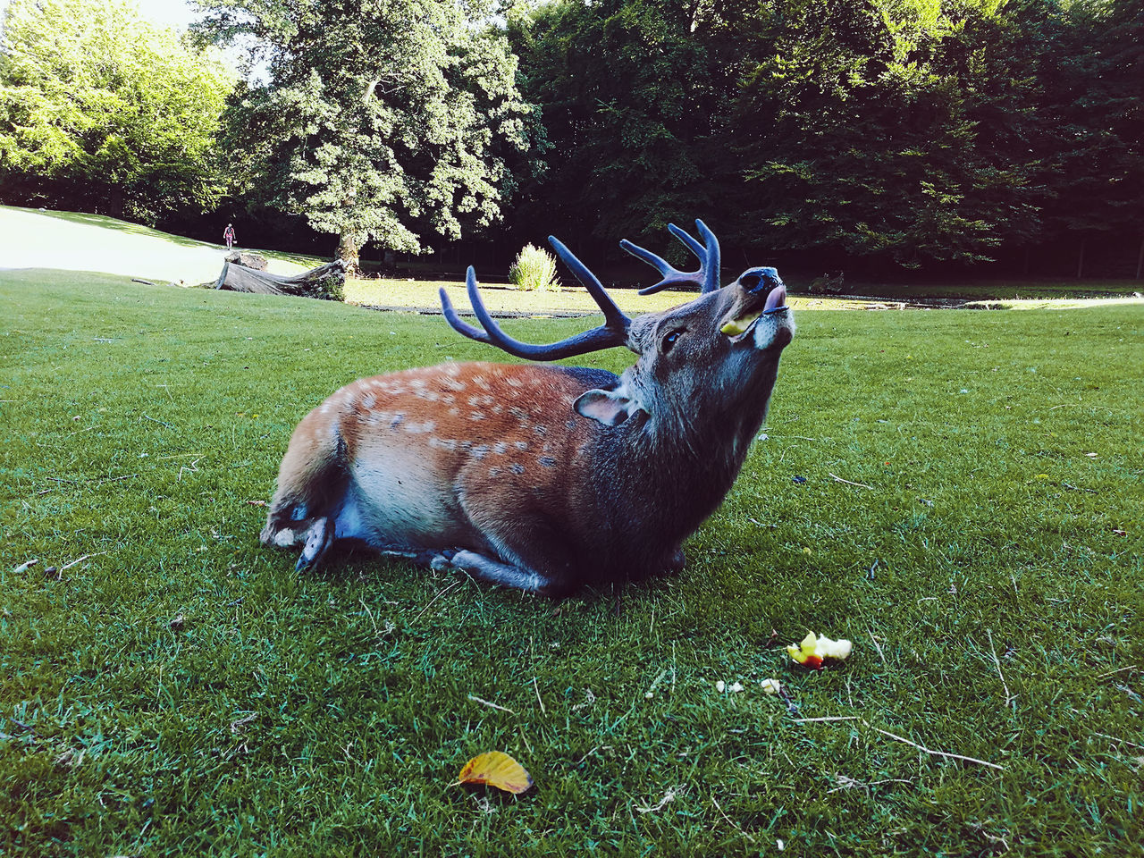 One Animal Animal Themes Grass Animal Tree No People Animals In The Wild Outdoors Nature Mammal Day Antler Travel Adventure Domestic Animals Landscape Stag Roe Deer Wildlife Wild Animal Wild Animal Park Wild Wildlife Photography Wildlife & Nature Deer