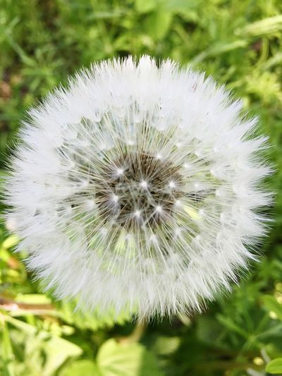Dandelion Flower Nature Fragility Growth Plant Beauty In Nature Uncultivated Flower Head White Color Softness Freshness Wildflower Close-up Outdoors No People Day
