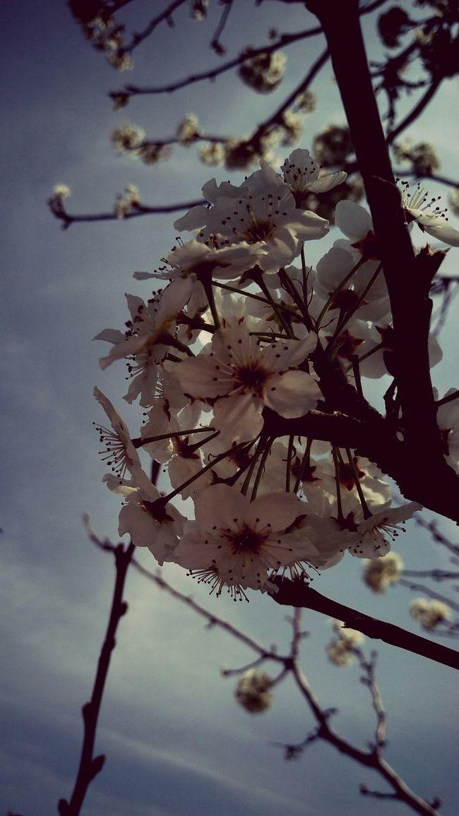 Magnolia_Blossom Spring Blossoms