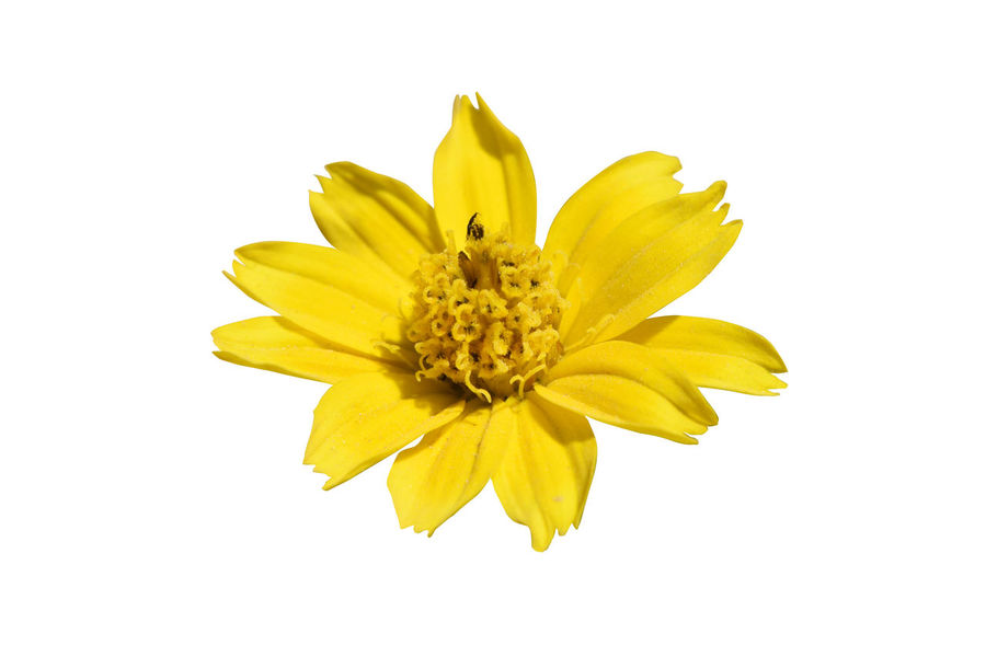Beauty In Nature Blooming Close-up Day Flower Flower Head Fragility Freshness Growth Nature No People Outdoors Petal Plant Pollen Stamen Studio Shot White Background Yellow Zinnia