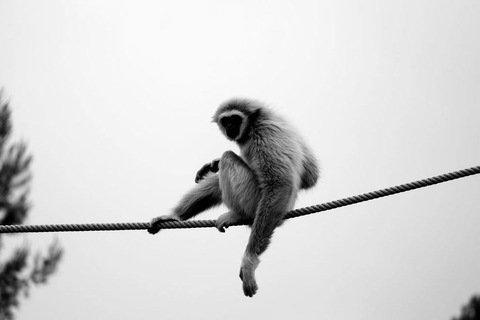 Beautiful stock photos of affe, Animal Themes, Animal Wildlife, Animals In The Wild, Balance