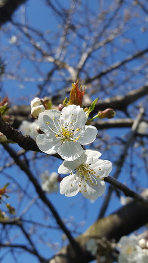 Cherry Blossoms Cherries🍒 Nature Tree White Color Growth Blossom Flower Branch Close-up Almond Tree Beauty In Nature Flower Head Sunlight Petal Outdoors Springtime No People Day Twig Fragility Freshness