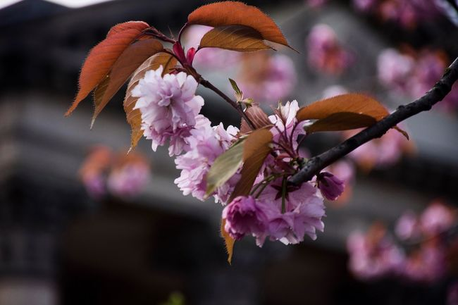 Cherry Blossoms Nature Nature Photography Flora Nikon Nikon D7200 Bokeh Bokeh Photography