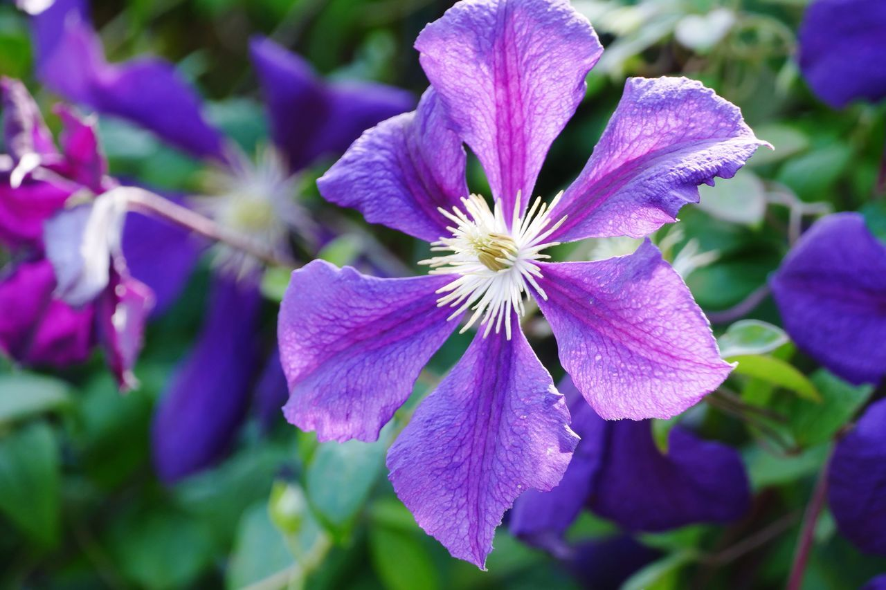 Purple Flower Purple Purple Flowers Flower Beauty In Nature Flowers, Nature And Beauty Clematis Clematis Flower Natures Diversities Beauty In Nature Nature On Your Doorstep Flowers,Plants & Garden
