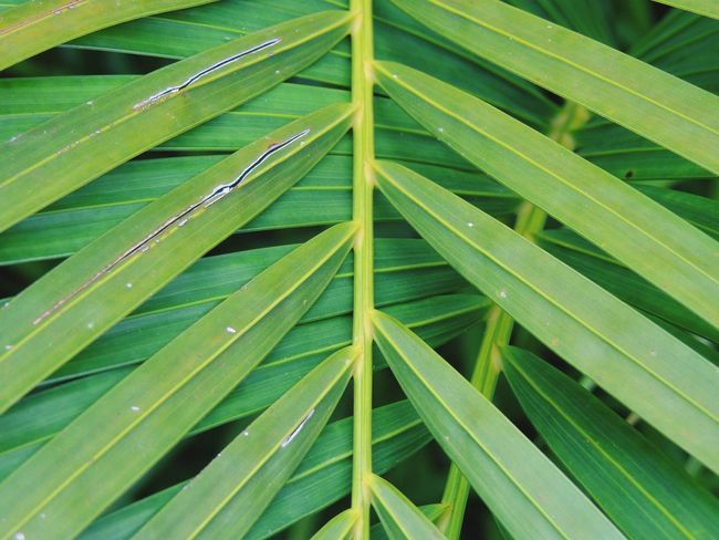 Green Color Lines And Shapes Lines Pattern This Week On Eyeem Leaf Growth Close-up Backgrounds Palm Leaf Plant Nature Freshness Green Extreme Close-up Dew Leaves Vibrant Color Water Day Outdoors Tranquility Beauty In Nature Foliage, Vegetation, Plants, Green, Leaves, Leafage, Undergrowth, Underbrush, Plant Life, Flora