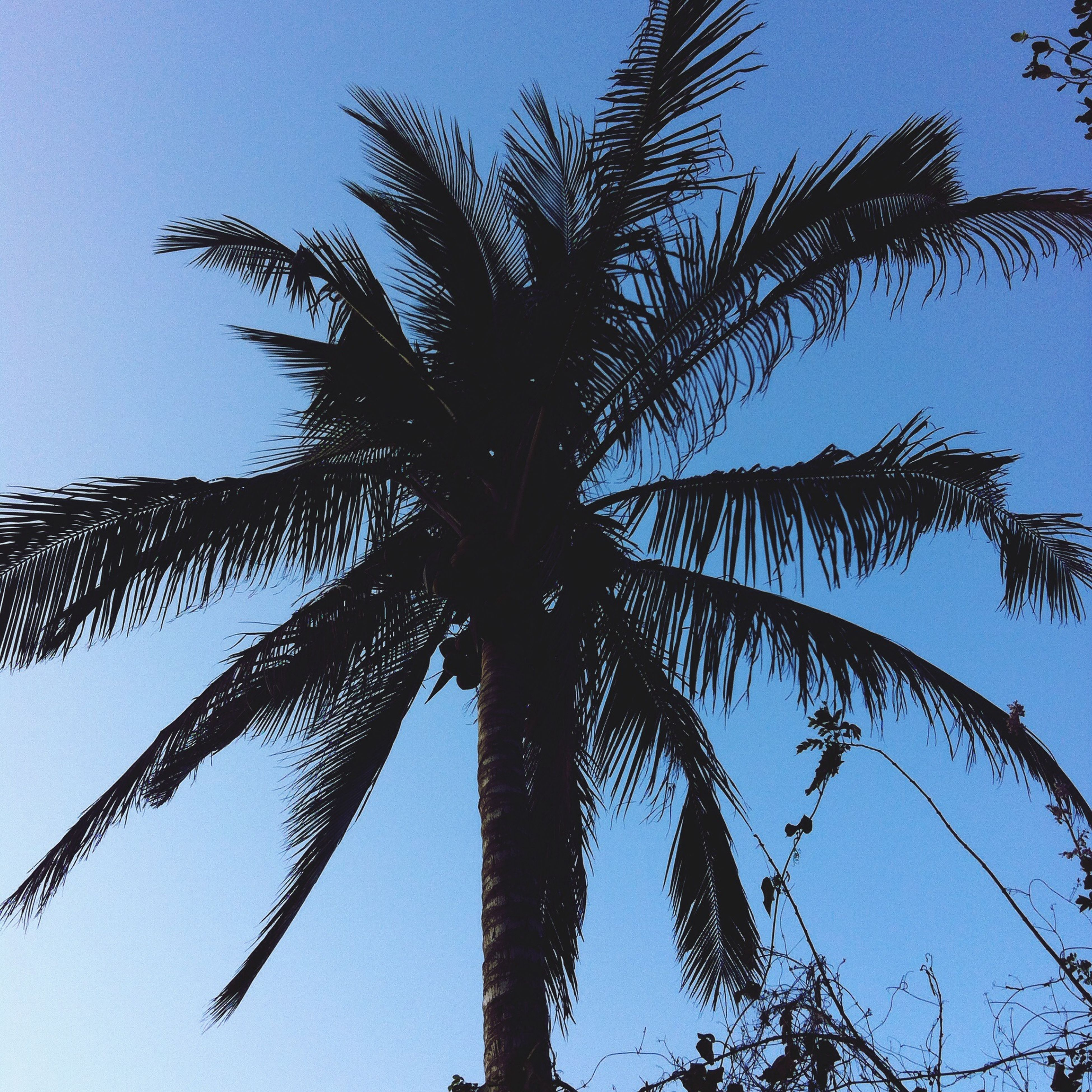 low angle view, palm tree, tree, growth, tree trunk, clear sky, sky, blue, nature, branch, tranquility, silhouette, beauty in nature, palm leaf, outdoors, tall - high, no people, sunlight, day, coconut palm tree