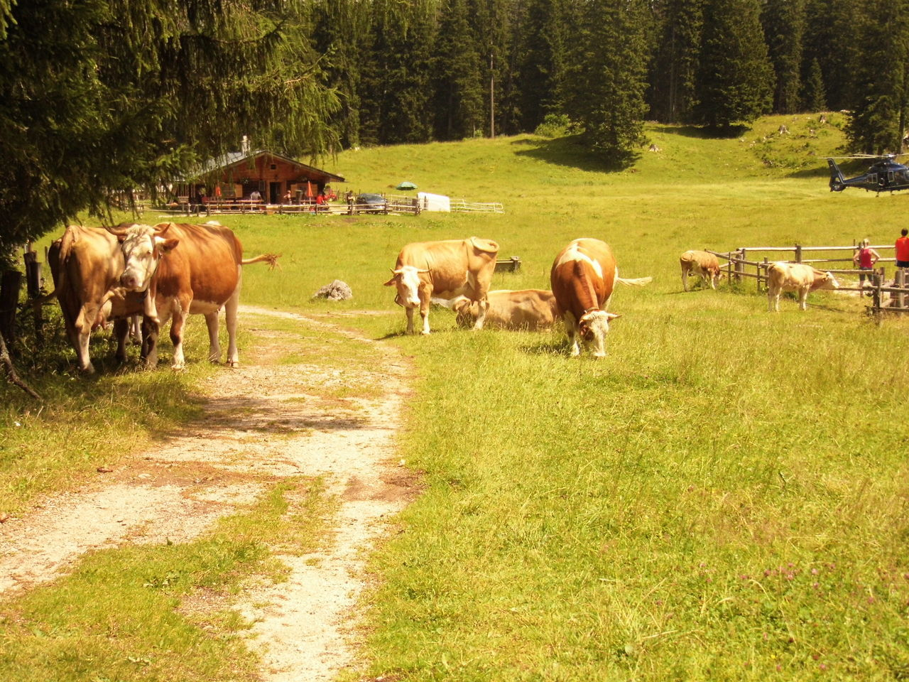 Caramel Coloured Cows Cows In A Field Farm Farmer Field Forest Way Green Trees Background