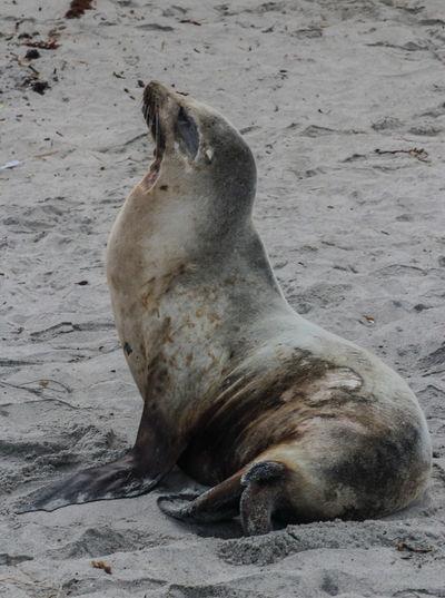 Showcase April Wildlife Photography Wildlife & Nature Wildlife Ocean Beach Moonlight Beach Encintas Sea Lion Wild