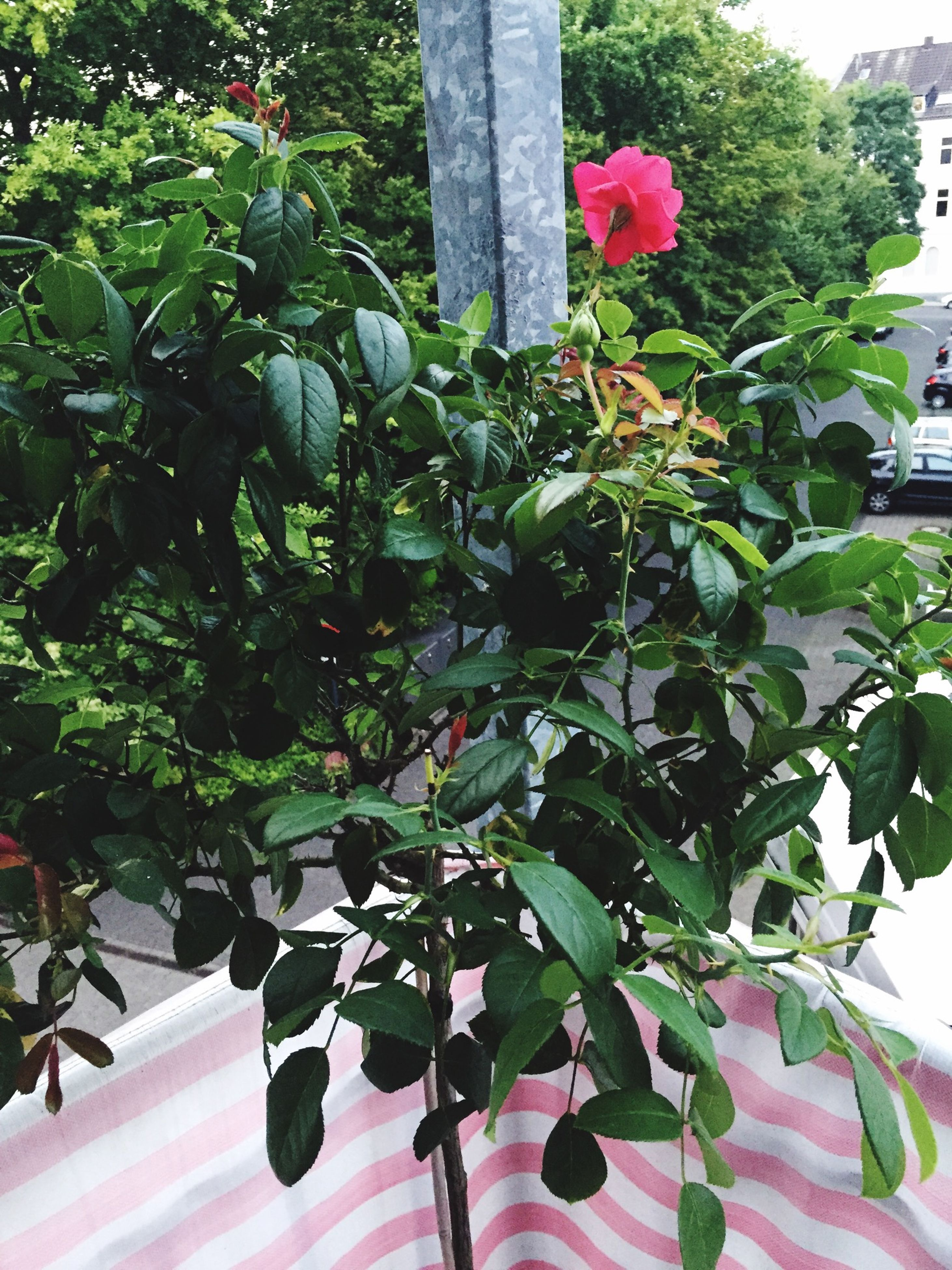 growth, leaf, flower, plant, building exterior, tree, built structure, potted plant, architecture, low angle view, nature, sunlight, green color, day, freshness, red, outdoors, no people, front or back yard, house