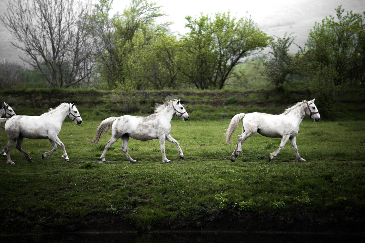 Animal Animal Themes Animals Day Domestic Animals Grass Grass Green Green Color Horse Horses Landscape Landscape_Collection Mammal Nature Nature Nature Photography Nature_collection No People Outdoors Running Tree Wallpaper White White Horses