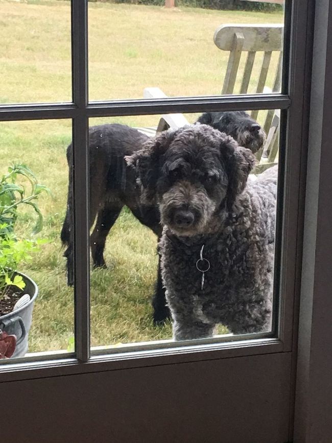 Hello Anyone Home? Hanging Out StreamzooPics Streamzoo Streamzoofamily Dogslife Dog Block Island Taking Photos Goldendoodle Waterdog Sweet Faces Island Dogs