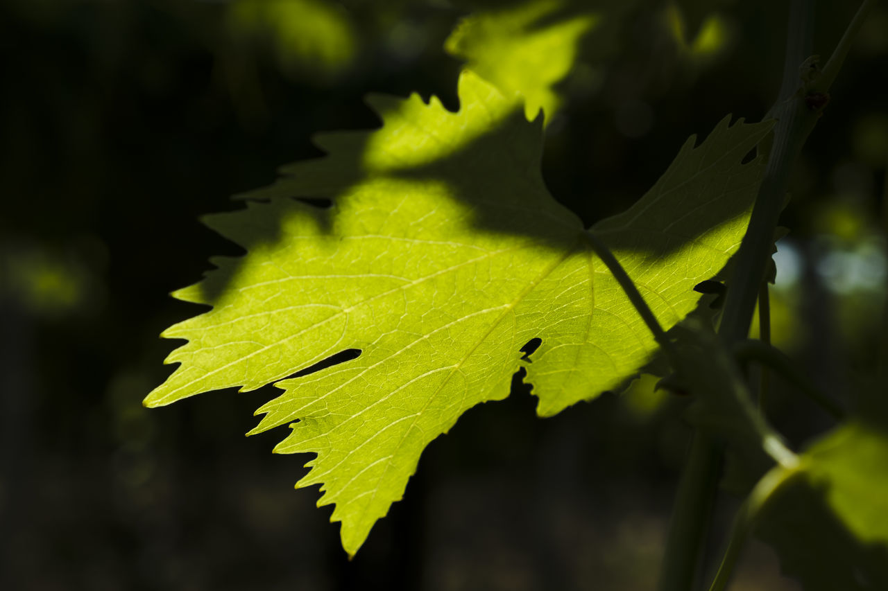Agriculture Vineyards  Autumn Beauty In Nature Close-up Day Fragility Freshness Grapes Green Color Growth Leaf Leaves Maple Maple Leaf Nature No People Outdoors Water