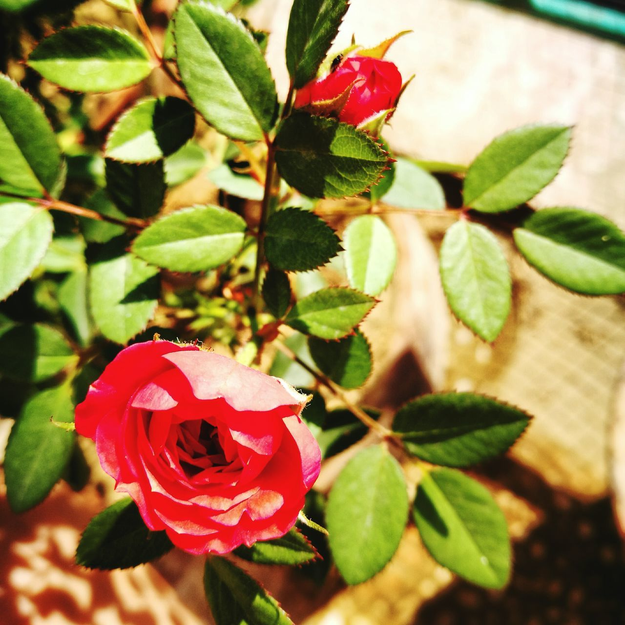 flower, petal, growth, nature, rose - flower, leaf, beauty in nature, plant, red, fragility, freshness, flower head, no people, close-up, blooming, day, outdoors, water