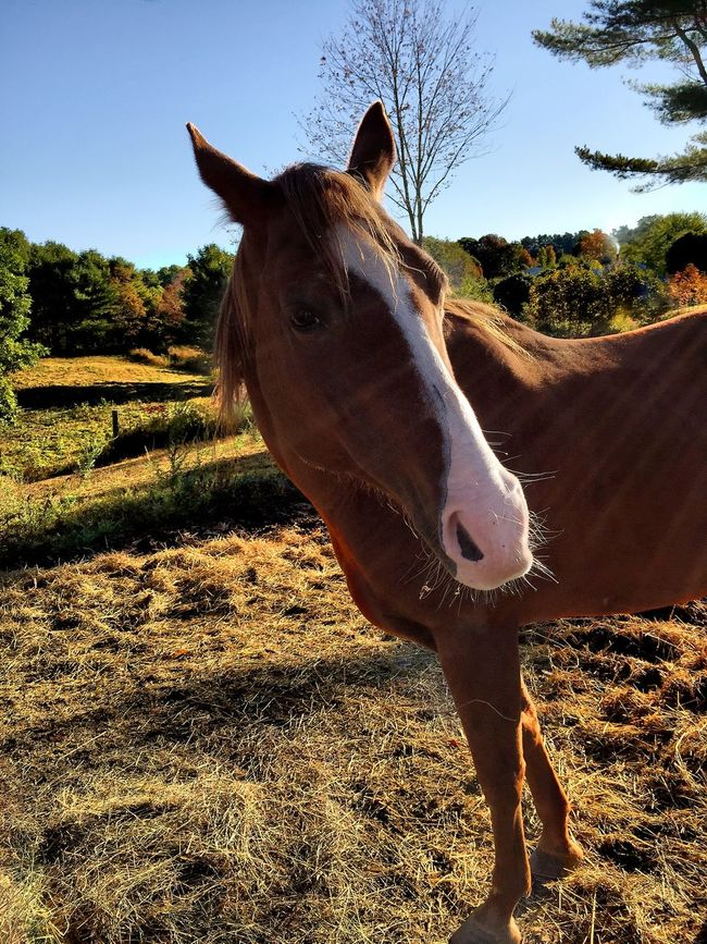 You Looking At Me????? Beautiful Horse Horse Countryside Taking Photos Maine Carol Sharkey Photography