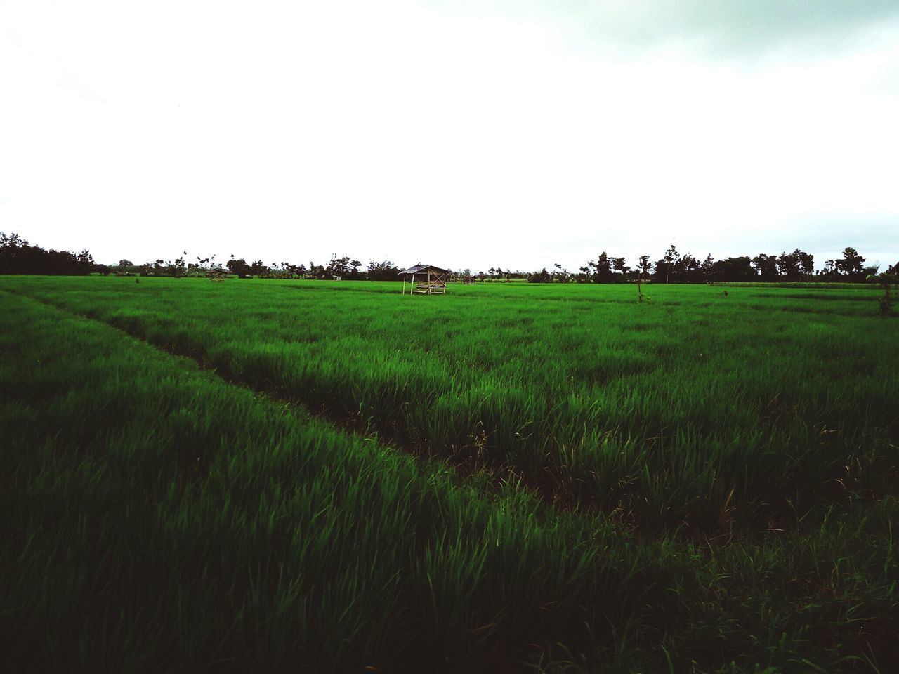 Nature Eyeem Indonesia Agriculture Landscape Field Rural Scene Farm Growth Green Color Sky Scenics Nature Cloud - Sky Tranquil Scene No People Outdoors Rice Paddy Rice - Cereal Plant Beauty In Nature Day