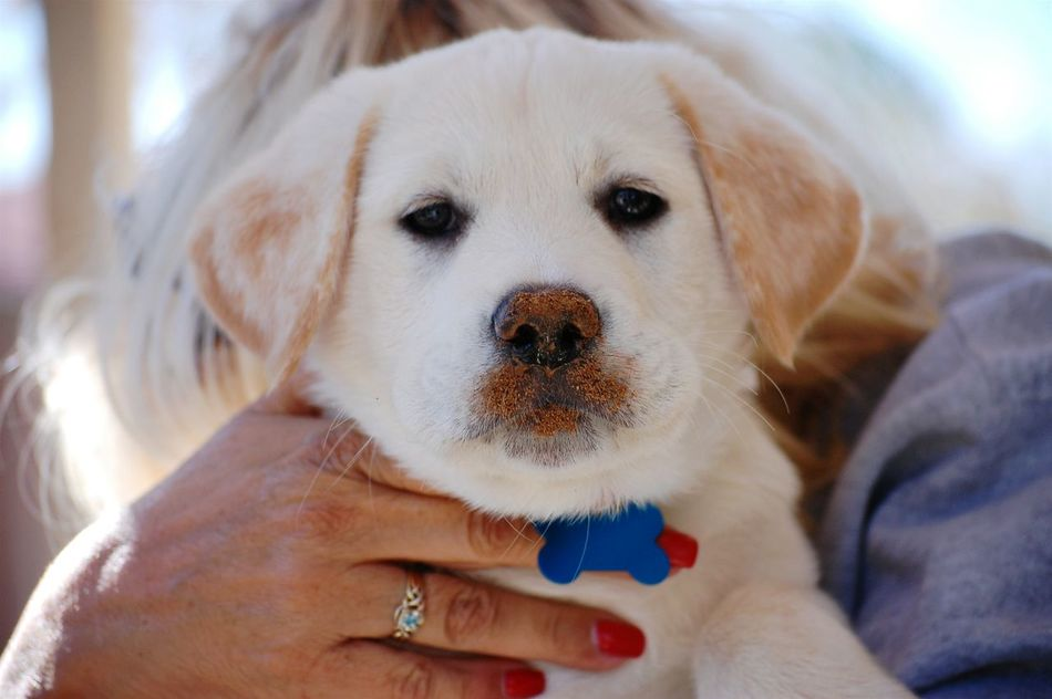 My Pup. Cabo. Puppy Love Puppy❤ Labrador Cute Little Dirty Face. ;) Getting Inspired EyeEm Gallery Cute Puppy