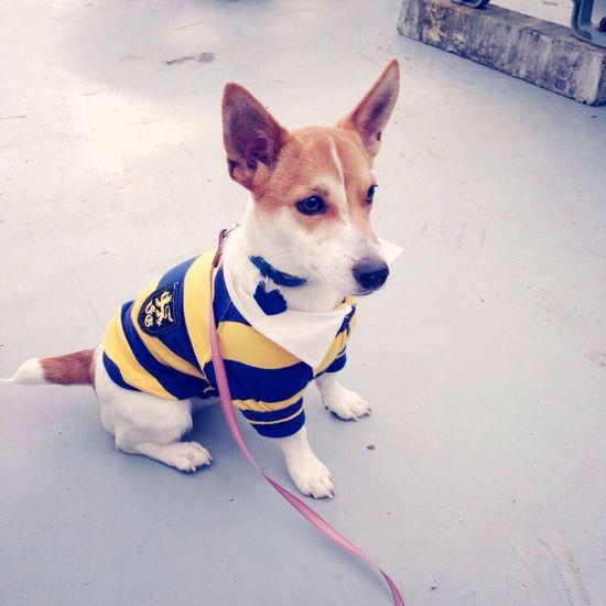 Max Takahashi Jackrussell Dog Sit