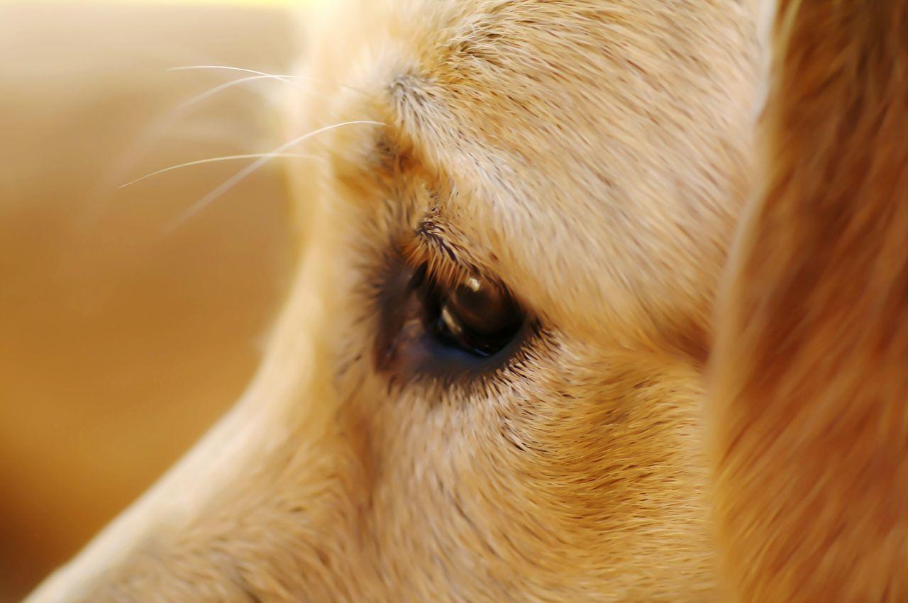 Beautiful stock photos of golden retrievers, Animal Body Part, Animal Eye, Animal Hair, Animal Themes