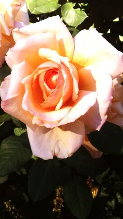 Rosé Close-up Bloom Single Flower Nature Growth Botany Blossom Nature Check This Out Freshness Boulder