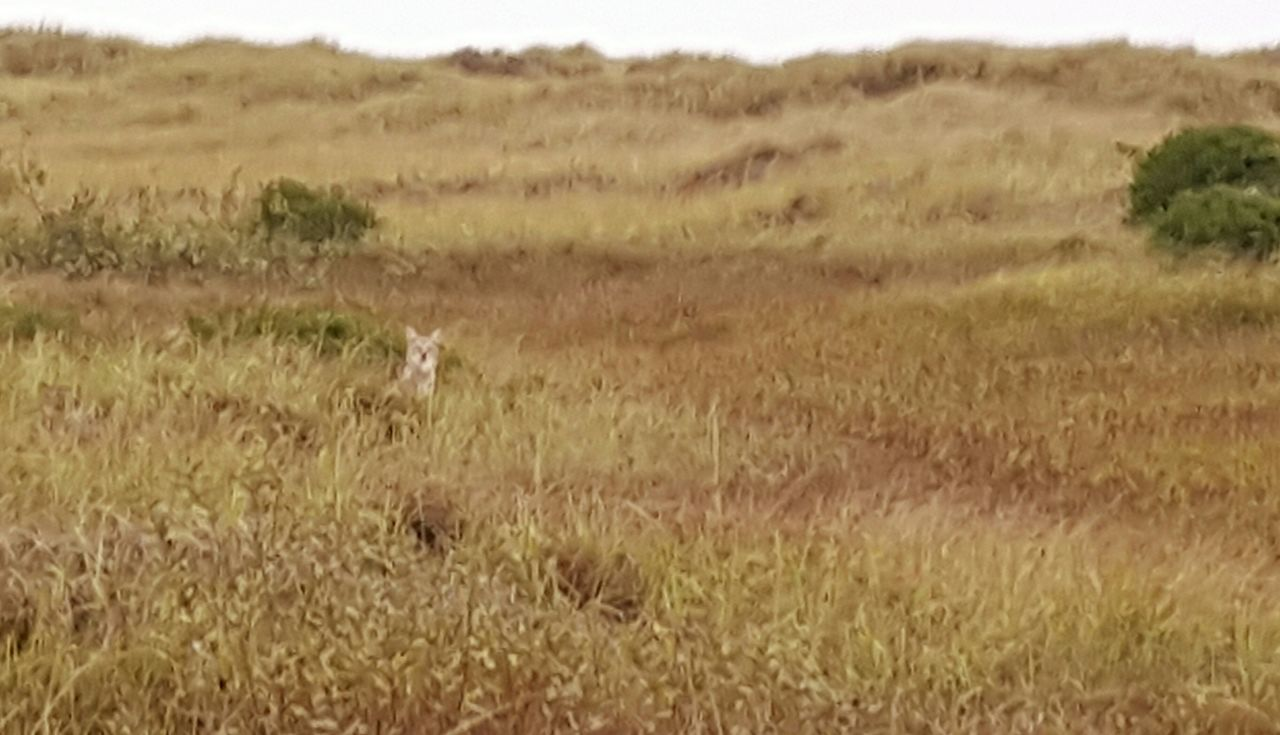 Watching you take my Picture. Smartphonephotography Learn & Shoot: Single Light Source Deceptively Simple No Filter, No Edit, Just Photography No Edit/no Filter Taking Photos The Purist (no Edit, No Filter) Coyote Coyotes  Wildlife