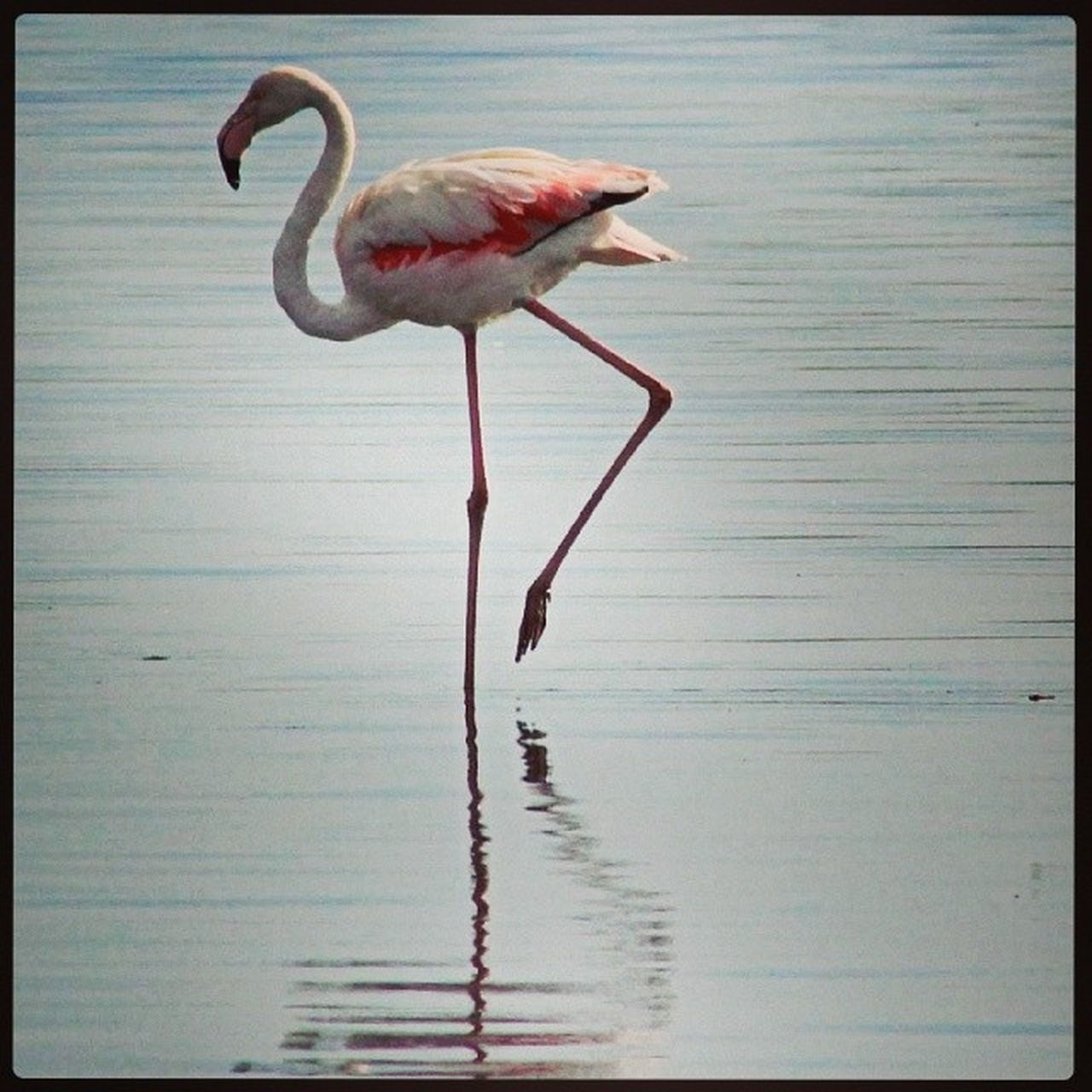 bird, flamingo, water, one animal, animals in the wild, wading, reflection, animal themes, no people, lake, nature, animal wildlife, day, pink color, beak, standing, outdoors, tranquility, beauty in nature, full length, ankle deep in water, close-up