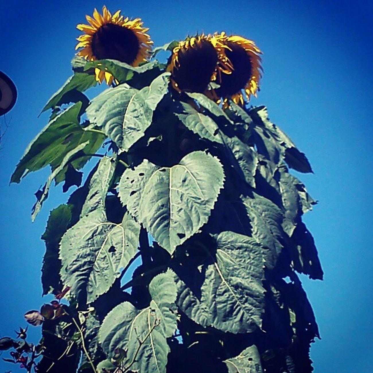 Favoriteflower BabeintheCityofB ! Burnhampark Sunflower 'til next time.. <3