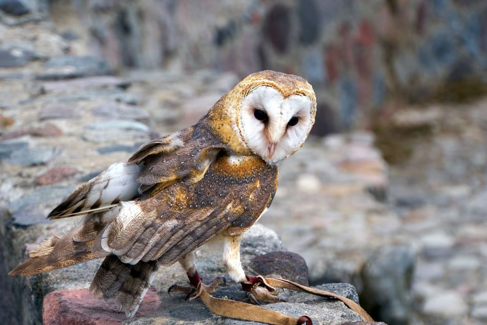 Owl Bird Of Prey Adapted To The City Focused Attentive Hunter Of The Skies Animal Themes Raptor EyeEm Best Shots Eyesight Talons Stone Beak Outdoors One Animal Piercing Eyes Curiosity Animal Wildlife Animals In The Wild Nature No People Bird Day Close-up Exceptional Photographs