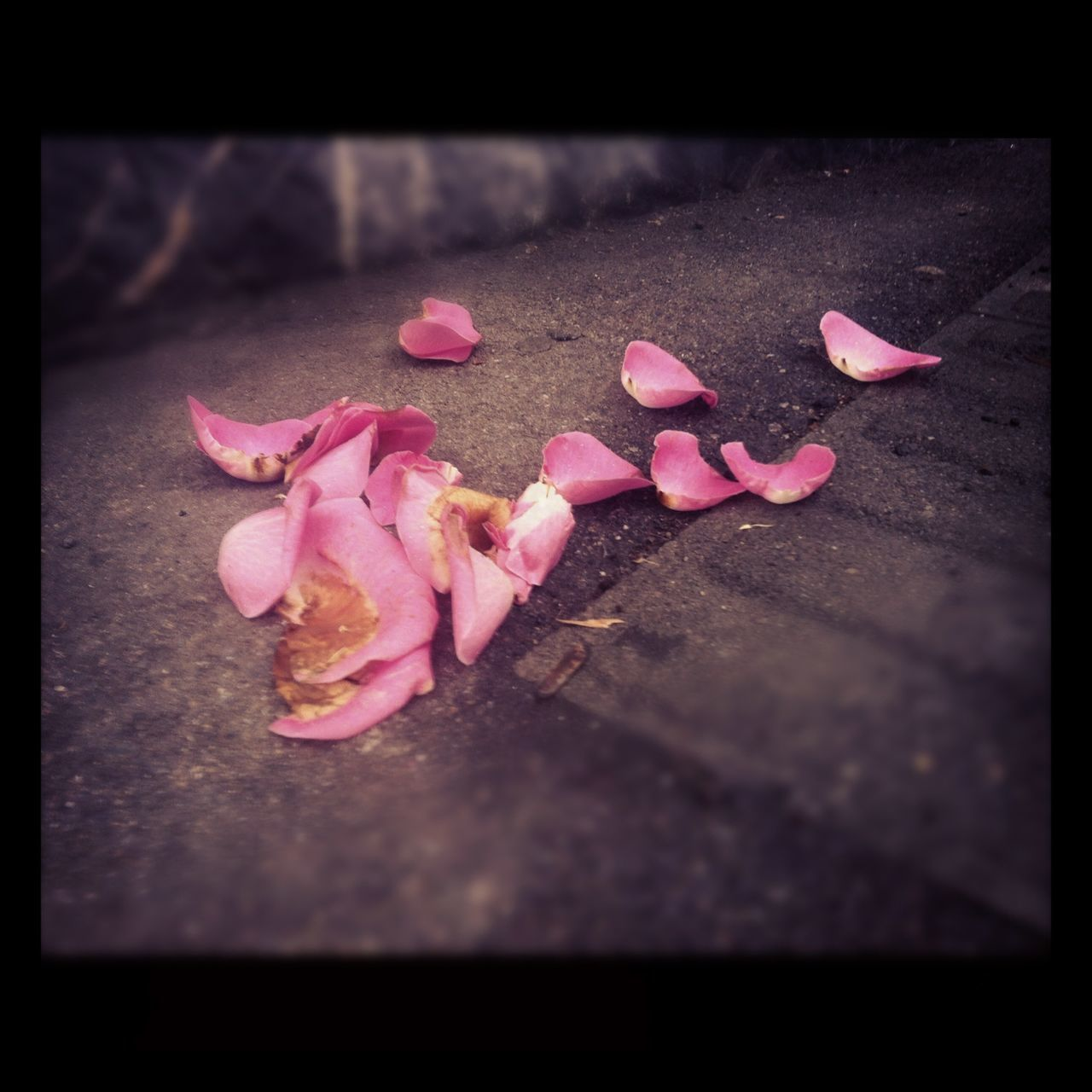pink color, petal, flower, selective focus, no people, rose - flower, fragility, close-up, freshness, day, nature, rose petals, outdoors, beauty in nature, flower head