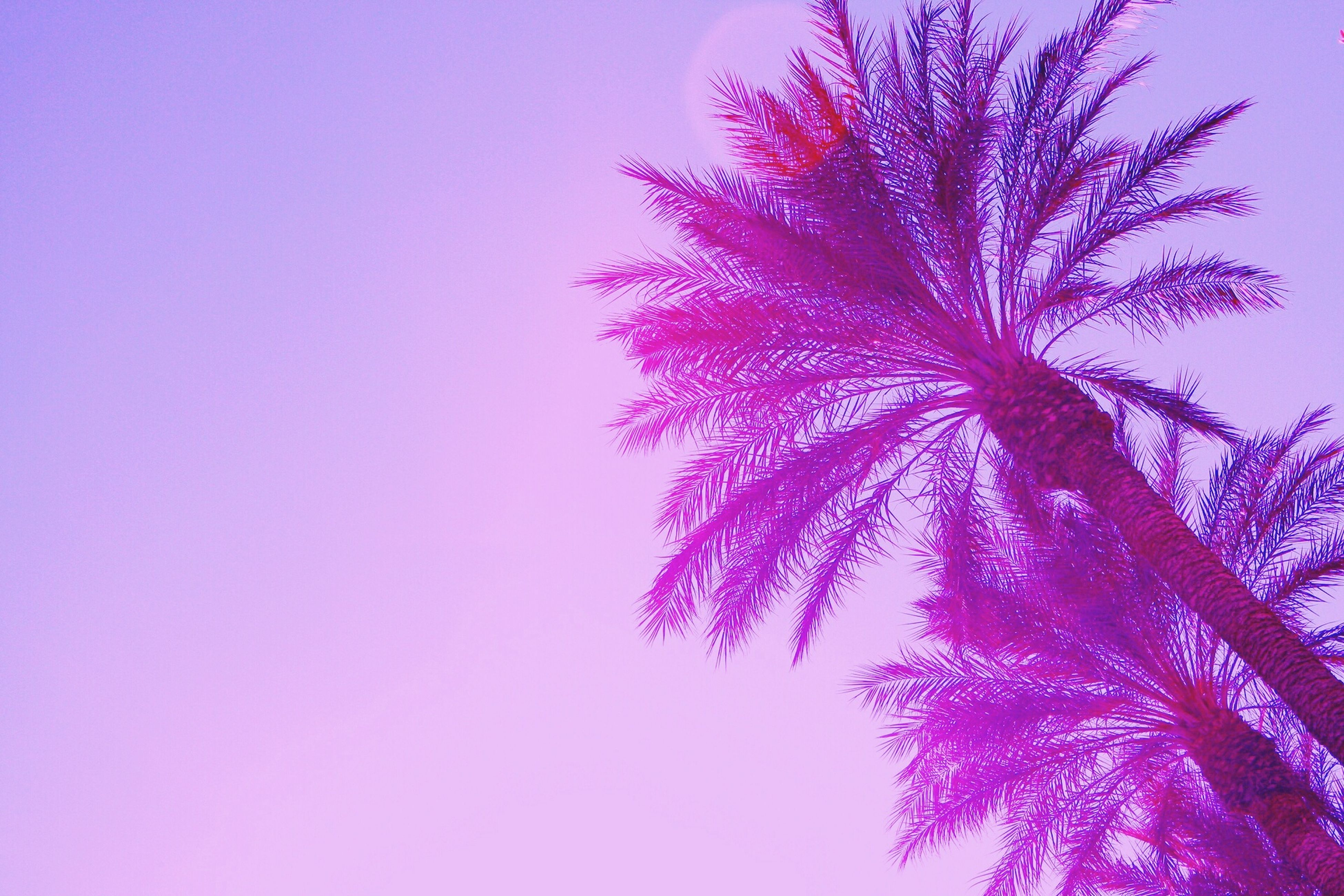 clear sky, low angle view, tree, beauty in nature, copy space, growth, nature, branch, blue, tranquility, scenics, no people, outdoors, pink color, tranquil scene, sky, palm tree, high section, purple, day